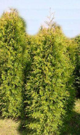 goldspitzen lebensbaum 39 aurescens 39 online bestellen. Black Bedroom Furniture Sets. Home Design Ideas