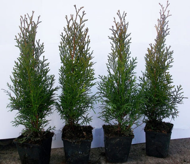Thuja Smaragd occidentalis