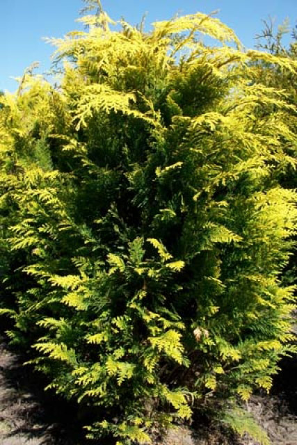 Chamaecyparis lawsoniana 'Alumigold' - Gelbe S�ulenzypresse 'Alumigold'