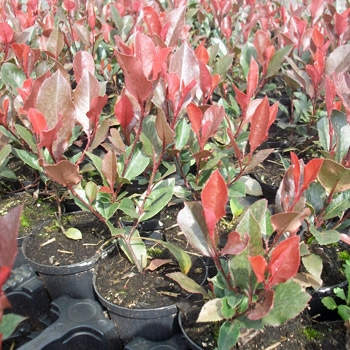 Photinia fraseri 'Red Robin' - Rote Glanzmispel 'Red Robin'