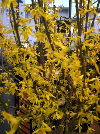 Forsythia 'Lynwood Gold' - Goldgl�ckchen 'Lynwood Gold'