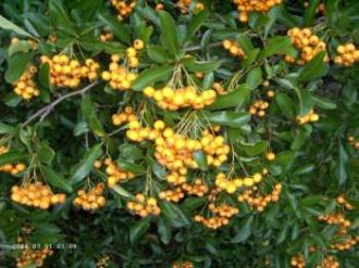 Pyracantha 'Orange Glow' - Feuerdorn 'Orange Glow'