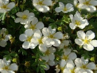 Potentilla 'Tilford Cream' - Fingerstrauch 'Tilford Cream'