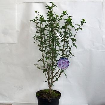 hibiskus garteneibisch 39 lavender chiffon 39 online bestellen. Black Bedroom Furniture Sets. Home Design Ideas