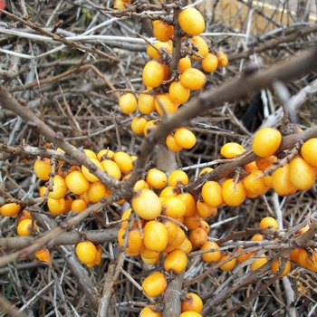 Hippophae rhamnoides 'Friesdorfer Orange' - Selbstbefruchtender Sanddorn 'Friesdorfer Orange'