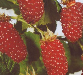 Rubus 'Tayberry'� - Him-Brombeere 'Tayberry'�