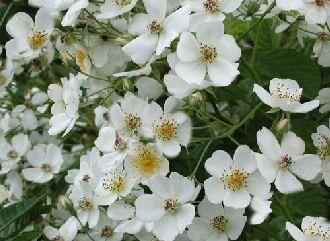 vielbl tige rose b schelrose rosa multiflora wild und heckenrosen rosen gartengruen. Black Bedroom Furniture Sets. Home Design Ideas
