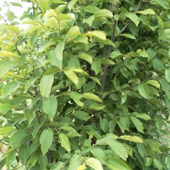 hainbuche carpinus betulus buchen hecken. Black Bedroom Furniture Sets. Home Design Ideas