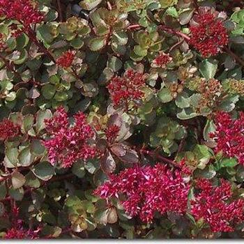 Teppich-Sedum für purpurrote Farbtupfer im vertikalen Garten